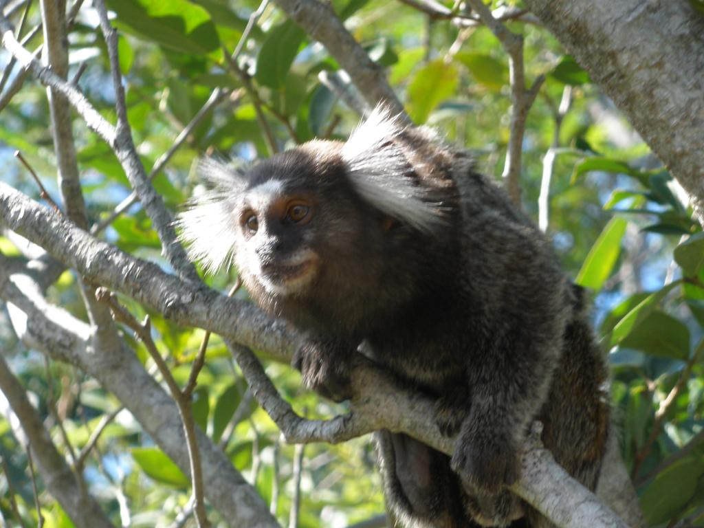 A Common Marmoset monkey about to take a jump or just landed on this branch